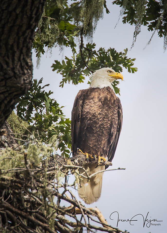 Father eagle guarding the nest