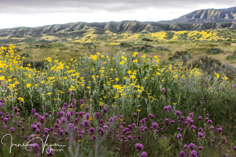 Wildflower LaLaLand - Carrizo Plains 2017