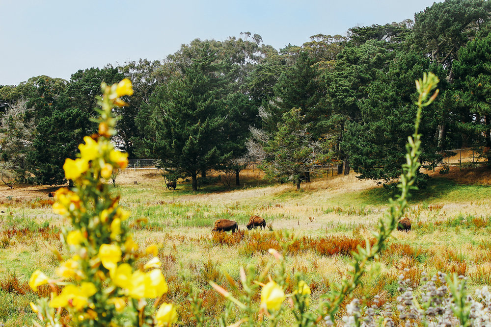 bison2_lcc_shot.jpg