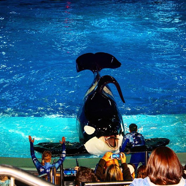 Fun at the Orca show at Sea World! #fun #family #instatravel #instagood #holiday #travel #theorlandotravelguide #seaworldorlando #seaworld #amusementparks