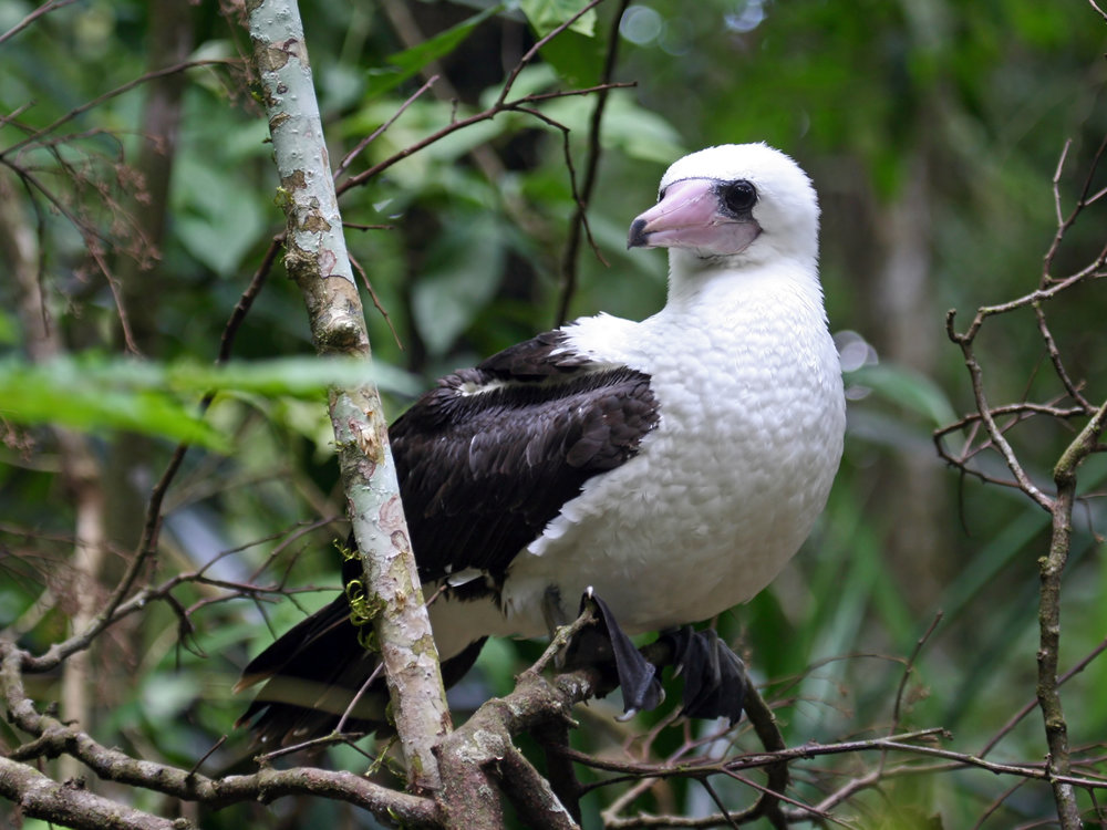 - The critically endangered Abbott's Booby is one of the most evolutionary distinct birds and the rarest of all boobies. It has disappeared from all its other breeding sites and now calls Christmas Island its last chance of hope. Abbott's Bobby are the only booby species to nest high in trees and therefore require an intact canopy to raise their young. Unfortunately, the rainforests these birds rely on are under threat from an exploratory mining lease currently under consideration by the Federal Government. These demands are of high commercial interest as the demand for palm oil, and therefore, fertilizer grows.