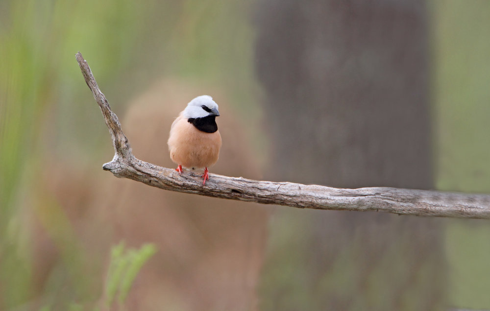- BirdLife Australia is calling on Federal Environment Minister, Josh Frydenberg, to act on the recommendations of the Recovery Team and to uphold his responsibility to safeguard critical habitat for the Black-Throated Finch to ensure its long-term survival.