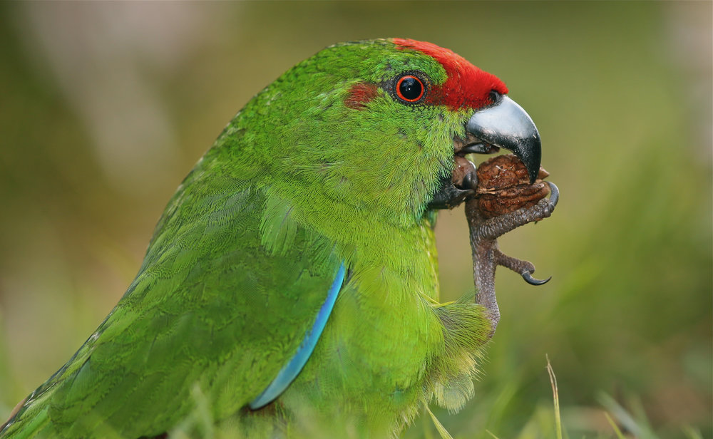 - Found nowhere else in the world, and 1500 kilometers east of the Australian mainland on a remote Australian territory lives the rare Norfolk Island Green Parrot. This unique bird is Critically Endangered and has been on the brink of extinction twice.