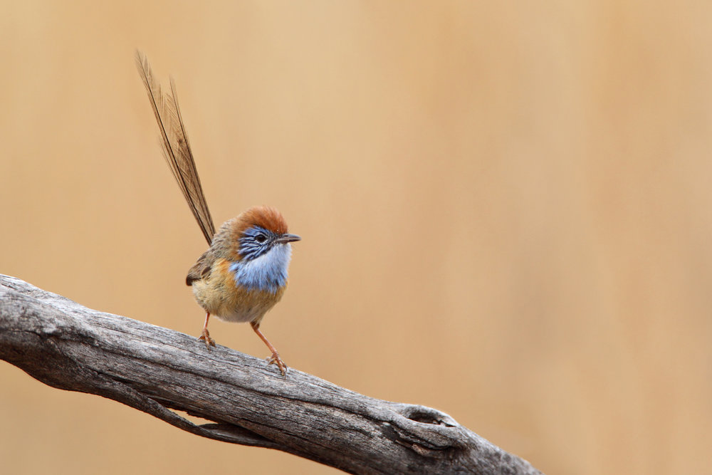 - The Mallee Emu-wren is endemic to the southern Murray Mallee region of south-eastern Australia. Once found in South Australia, large scale fires in 2014 cleared the entire population in South Australia, leaving their only remaining population in Victoria. The tiny endangered bird, only growing up to a mere 15cm long is one of Australia's smallest birds. Ideal habitat for the Mallee Emu Wren consists of hummock grass vegetation that has remained unburnt for 16-29 years, or heathy vegetation that has remained unburnt for 10-29 years.