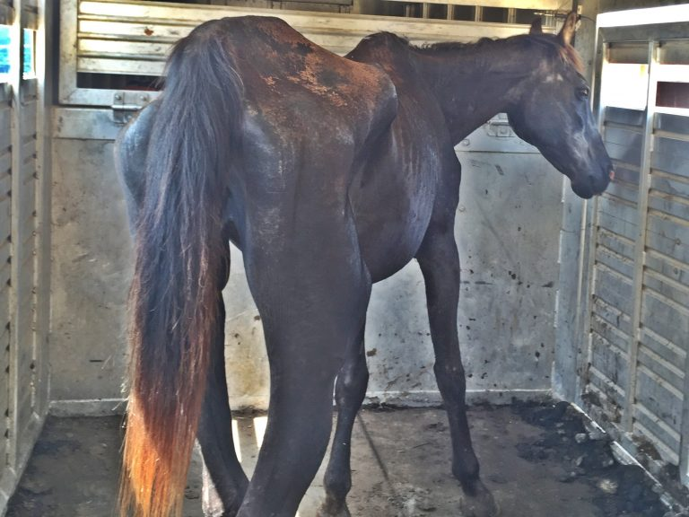 Smoke was horrendously underweight (Photo: Horse Plus Humane Society)