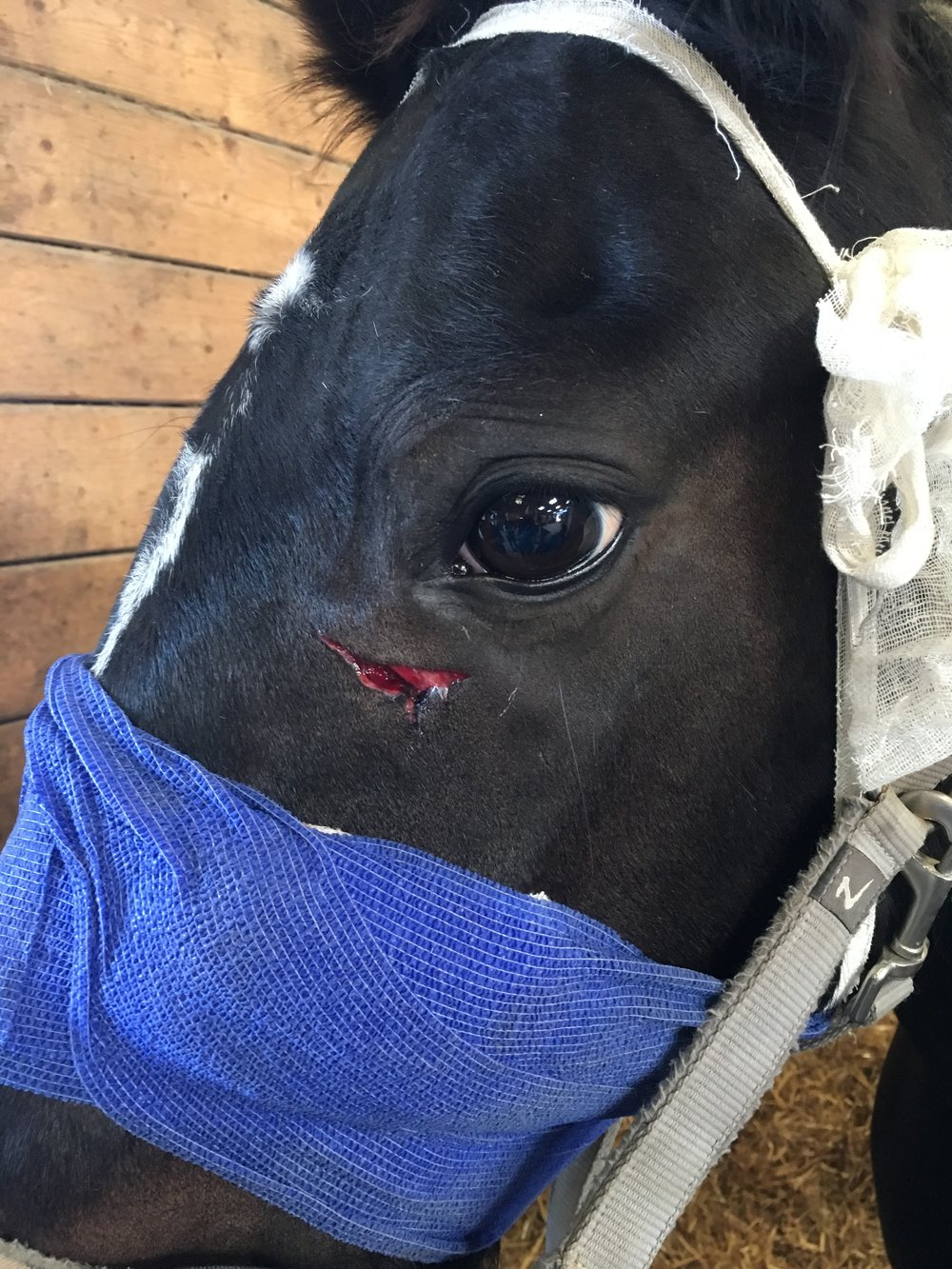 Minstral's wound was now evident when the bandage was moved
