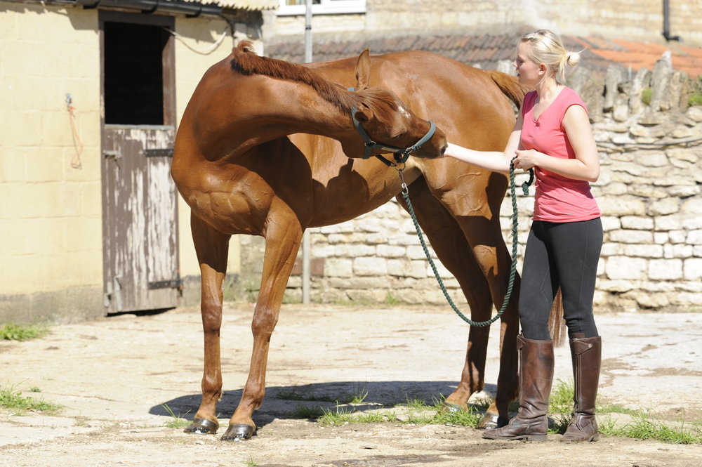 Use this carrot stretch to ask your horse to bend and flex his neck in that direction