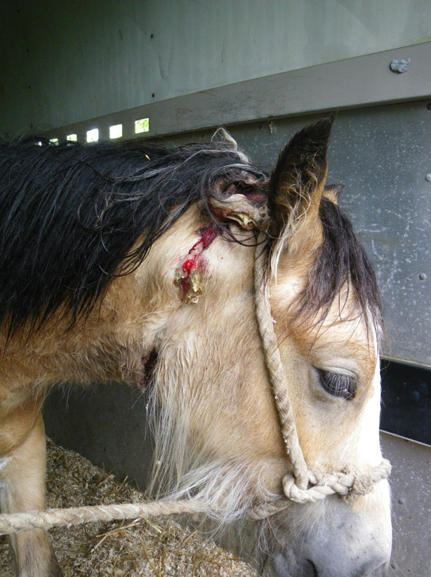 The young mare was discovered with deep wounds around her neck (Pic: World Horse Welfare)