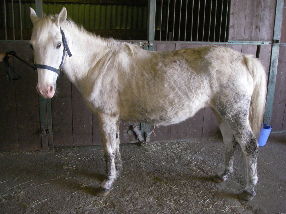 Rescuers were surprised to discover Molly was actually in foal (Pic: RSPCA)