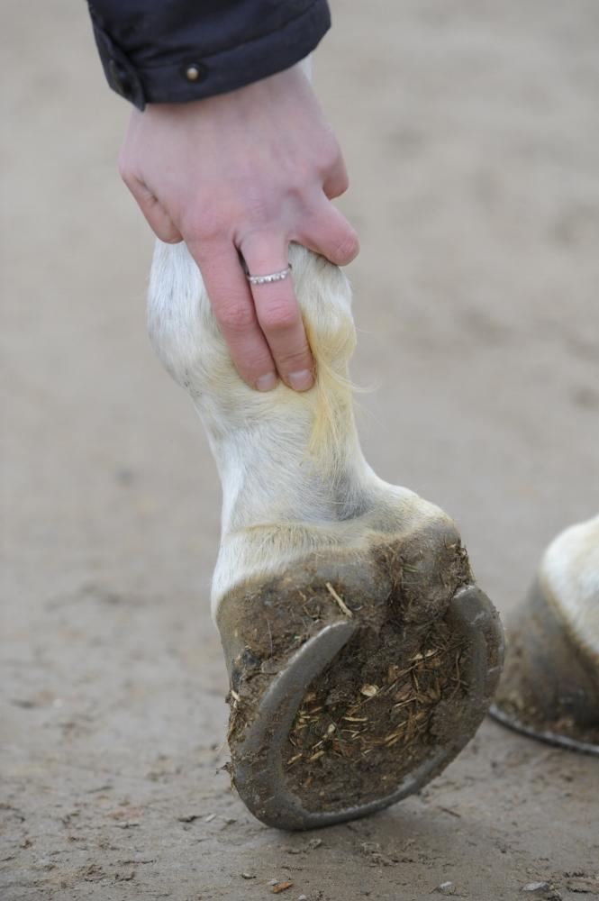 Checking horse's leg
