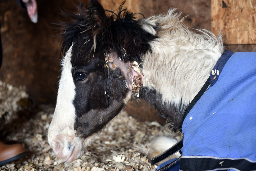 Dancer was one horse found to be suffering with strangles (Pic: Redwings Horse Sanctuary)