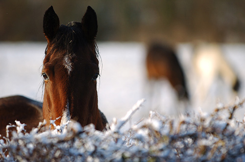 horse behind a frosty hedge.jpg