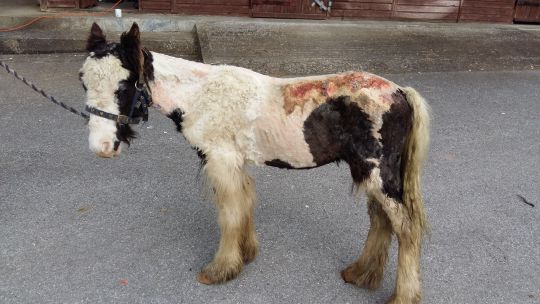 Buggy was weak and covered in maggots when he was found (Pic: World Horse Welfare)