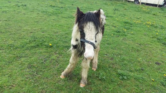 Vets thought Buggy could have only been a few days from death (Pic: World Horse Welfare)