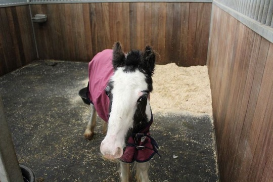 Now safe at Penny Farm, Buggy has come on leaps and bounds (Pic: World Horse Welfare)