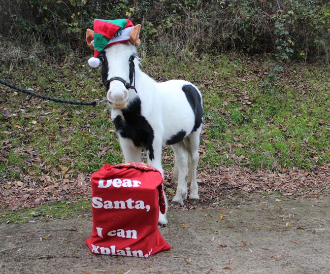 Buggy has been helping out with the Christmas fun at Penny Farm (Pic: World Horse Welfare)