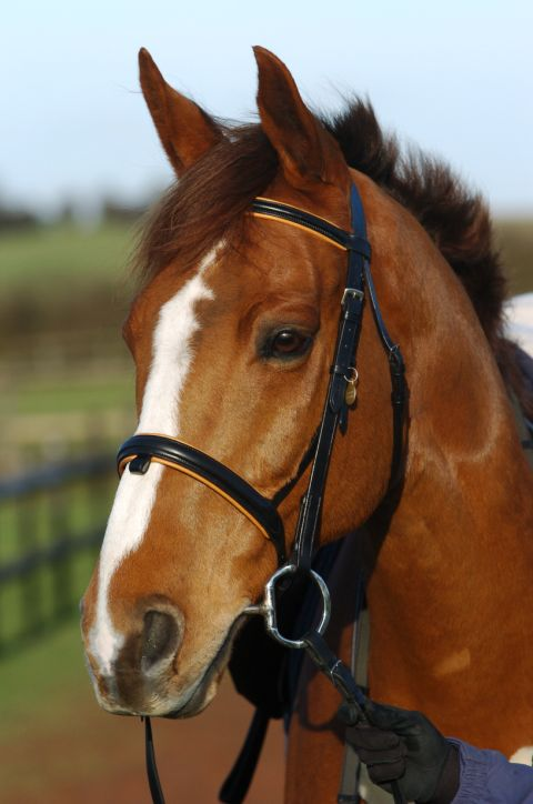 chestnut horse in bridle