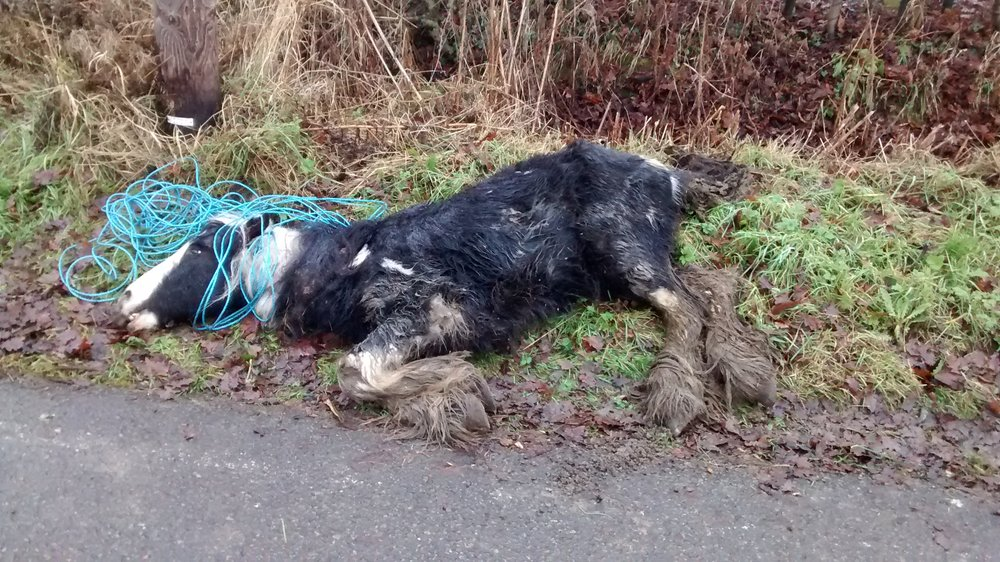 Young piebald colt, found dead at the side of a road (Credit: RSPCA)