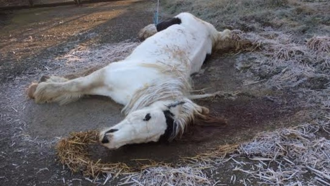The poor mare was unable to get up and left in freezing conditions (Pic: RSPCA)