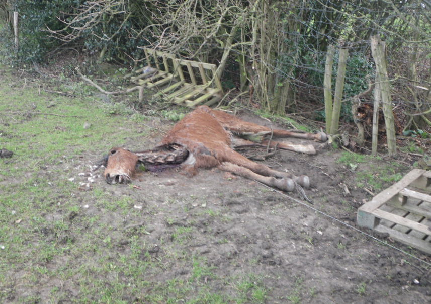 The horses were found next to the body of one of their field mates (Pic: RSPCA)