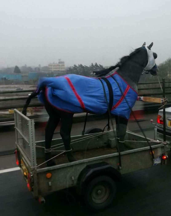 Passing drivers were alarmed to see the horse tied by its legs (Pic: RSPCA)