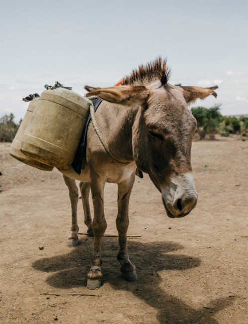 Donkey carrying water during drought (Pic: The Brooke)