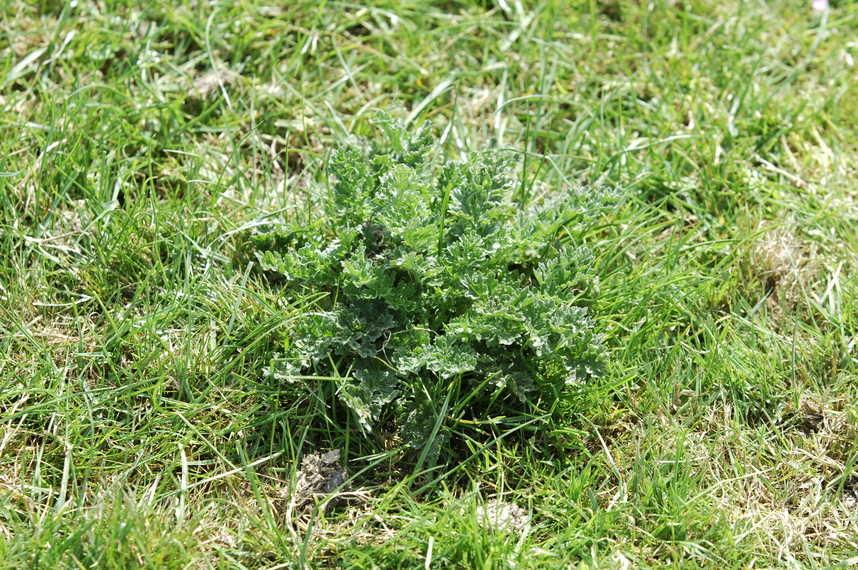 A rosette of ragwort