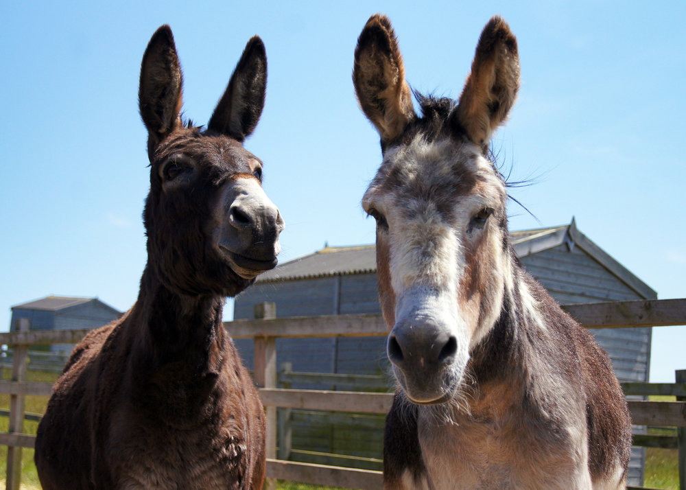Donkey duo Wiggins and Wacko (Pic: Redwings)