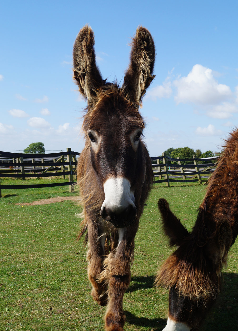 Part-bred Poitou donkey Arya (Pic: Redwings)