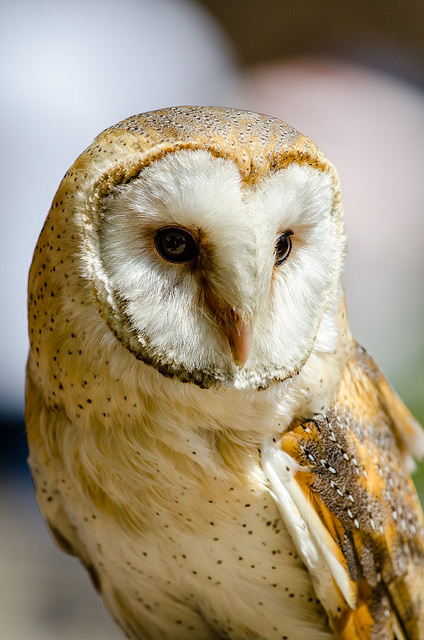 Ride before dusk to see barn owls (Pic: Flickr)