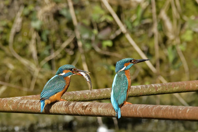 The kingfisher's bright colours makes them easy to distinguish from other birds (Pic: Flickr)