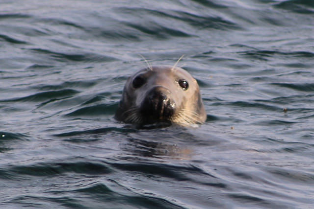 Seals pop their heads out occasionally to see what's going on! (Pic: Flickr)