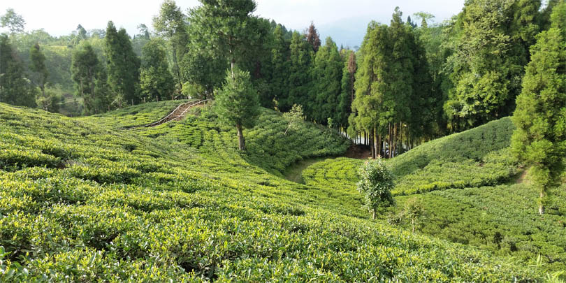 The Samal Valley tea estate fields