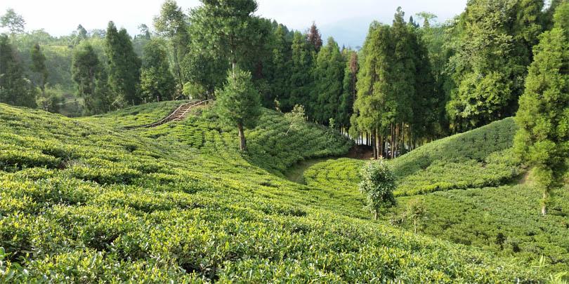 The Samal Valley tea estate fields