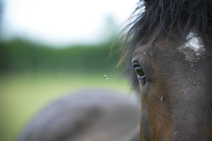 Flies are a nuisance for horses in the summertime
