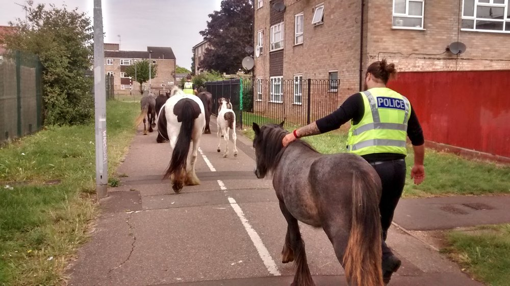 The horses were rounded up and returned to their field (Pic: RSPCA)