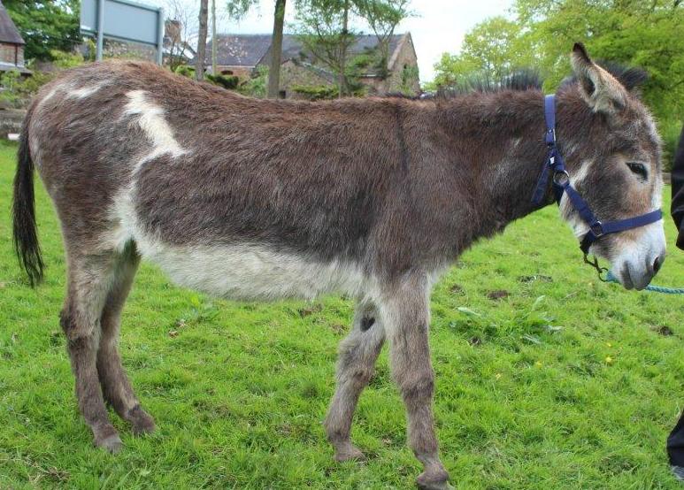 donkey-rspca