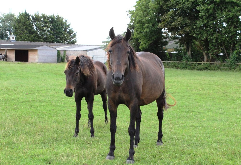 Sapphire has made friends with elderly mare, Rue since she arrived at HorseWorld and will give birth in the safety of the sanctuary