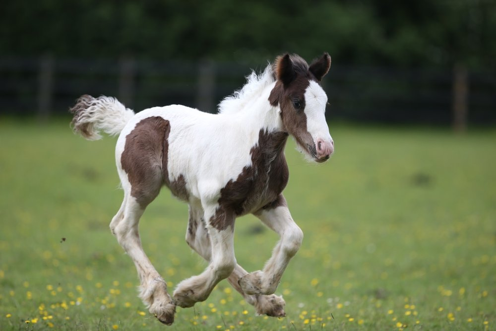 Is he about to gallop into your heart?
