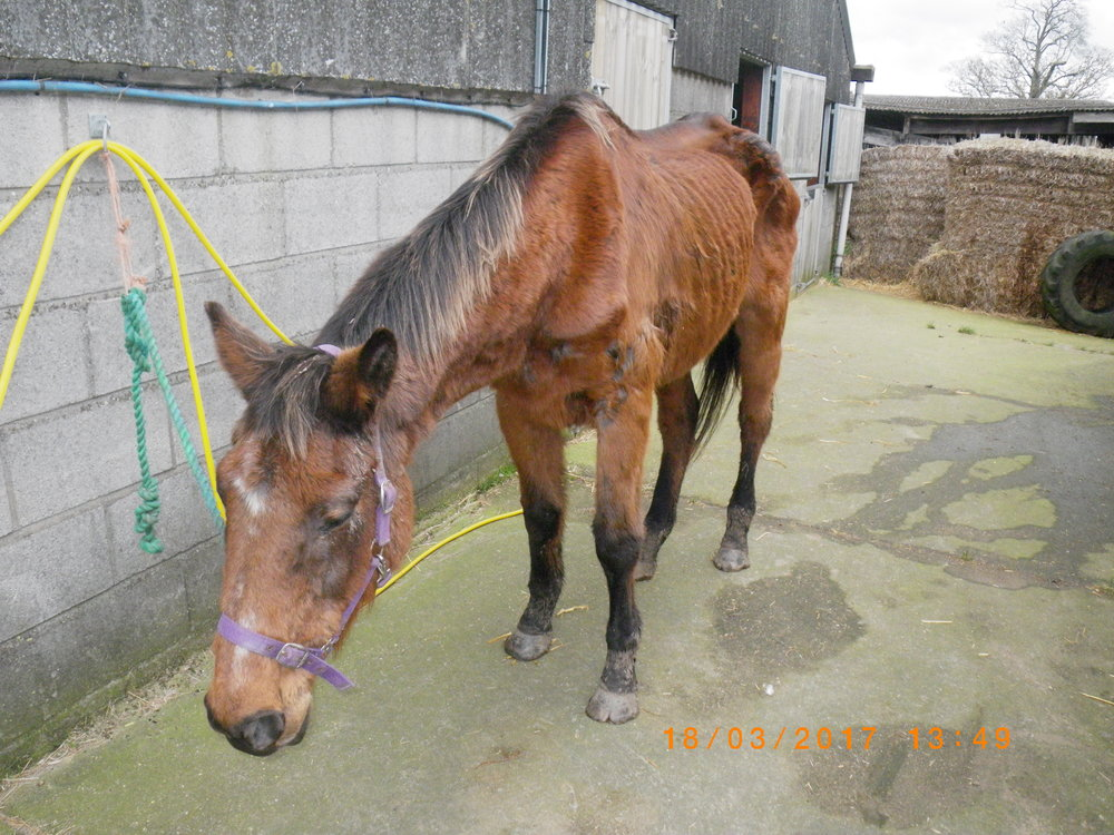 Tessa shortly after she was rescued (Pic: World Horse Welfare)