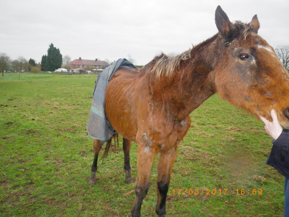 Tessa when she was found (Pic: World Horse Welfare)