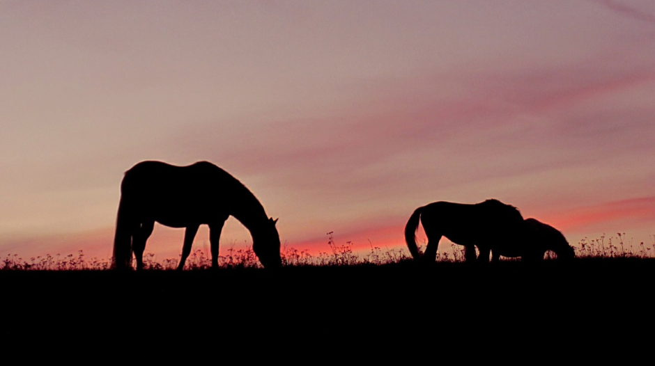 Horses graze throughout the day and night, with particularly high activity at dawn and dusk.