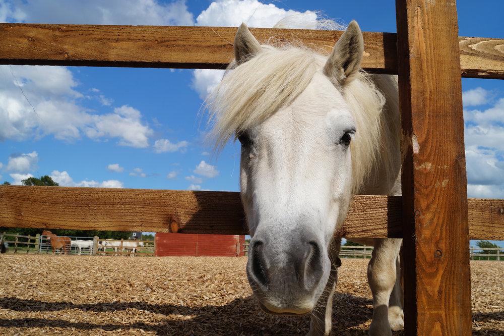 Adoption Star Sampson - the mighty little Shetland pony