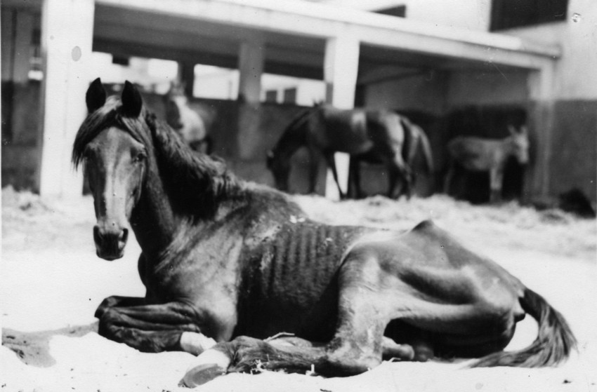 75% of the horses and mules died in the War because of the intense environments they had to work in, rather than shell fire.