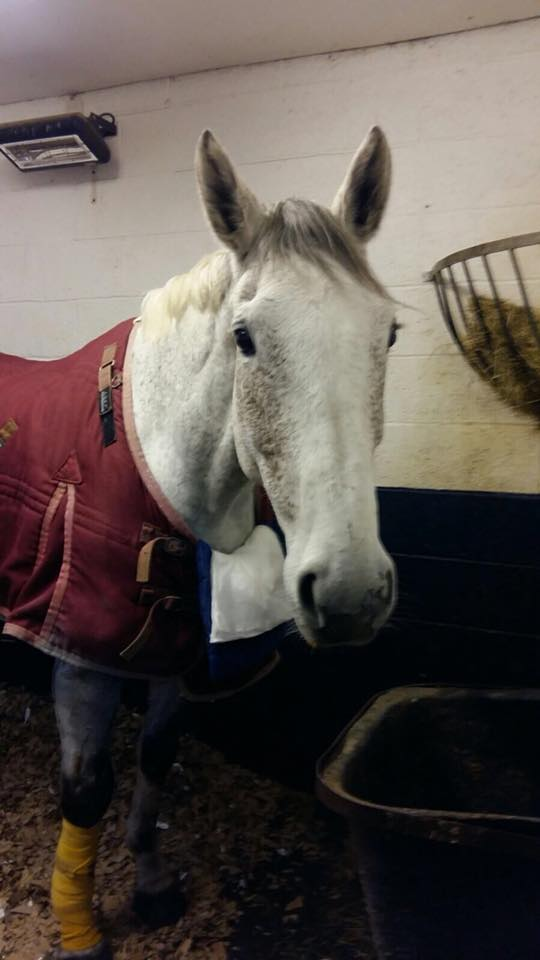 Willow is now recovering from her accident Pic: Oakham Veterinary Hospital Equine