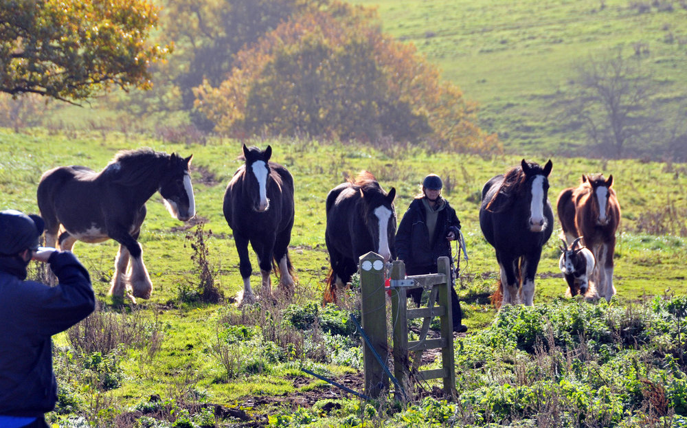 Round-up and rescue of 19 Shire horses