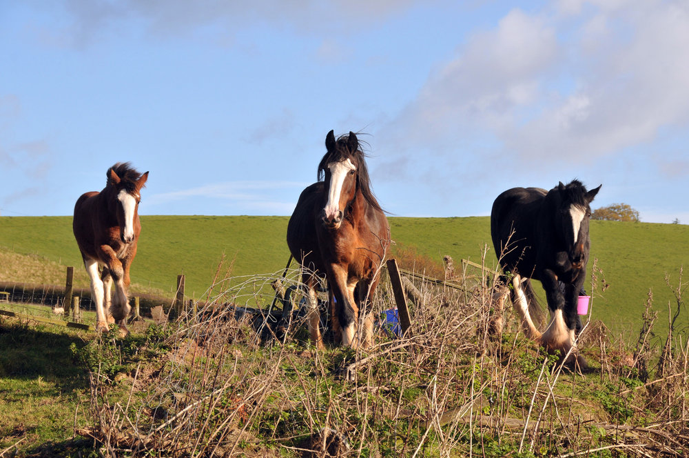 The fly-grazing Shires included mares with foals at foot