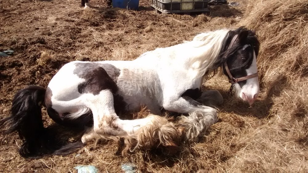 The piebald stallion had a broken leg, but instead of getting veterinary treatment, his owner gave the horse penicillin