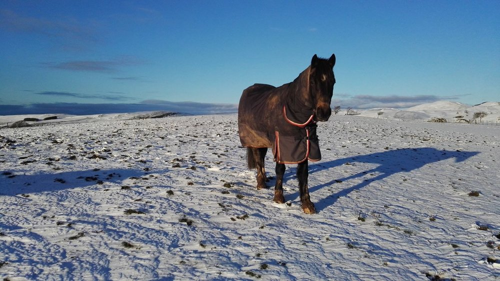 Eleanor's horse contemplating making a snow angel