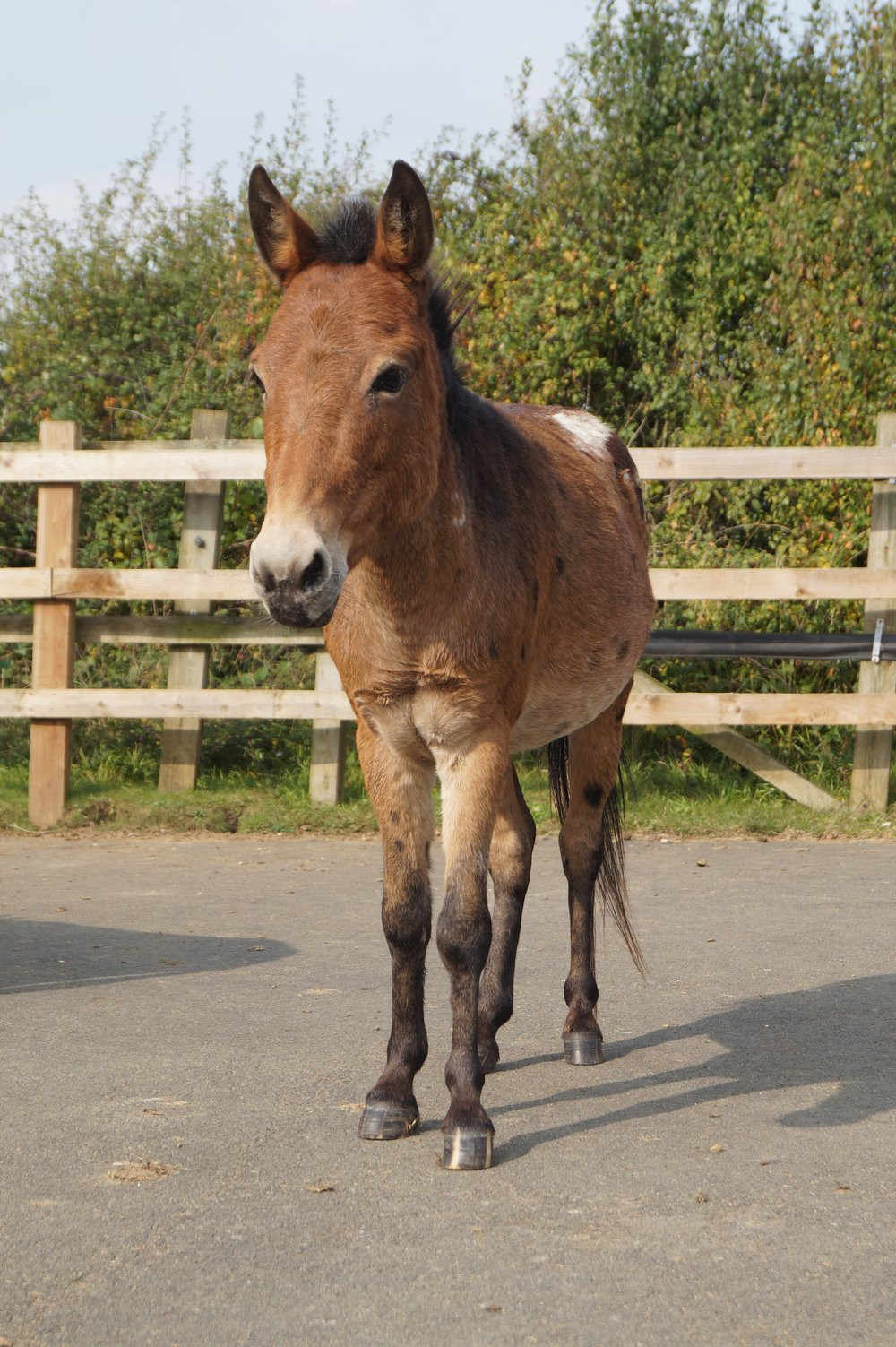 Riley is a hinny - the offspring of a a female donkey and a male pony